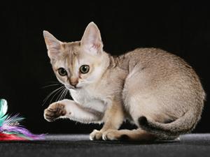 Игривость сингапурских кошек