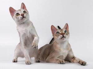 Энергичность сингапурской кошки