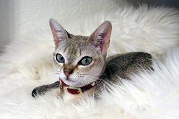 Кошка сингапурская