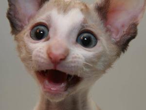 Нервозность у кошек - показание к применению Фоспасима
