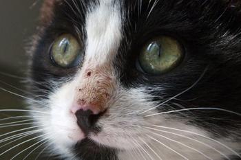 Проблема кальцивироза у кошек