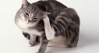 Проблема отодектоза у кошек