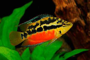 Рыбка Цихлазома Сальвини
