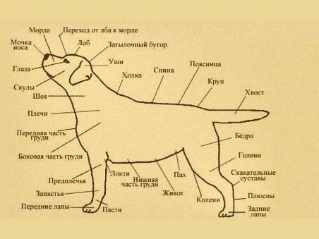 Схема лабрадора