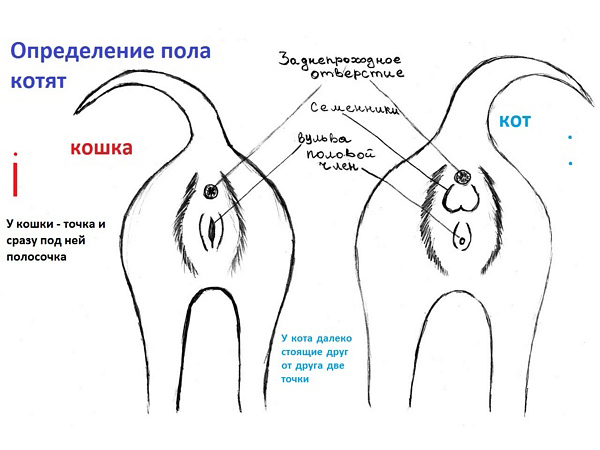 Схема определения пола котенка