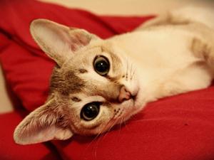 Сингапурская кошка золотистого цвета