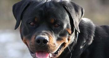 Собака породы ротвейлер