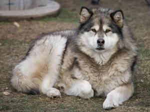 Собака породы маламут