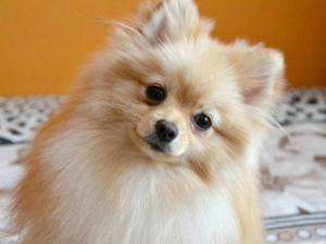 Собака породы немецкий шпиц