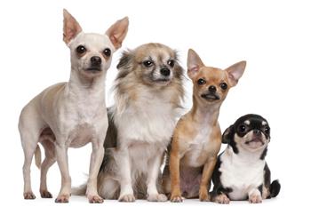 Собаки породы чихуахуа