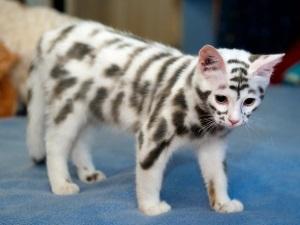 Необычный окрас котенка