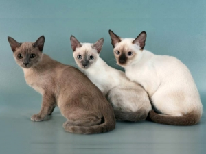 Породы тонкинских кошек
