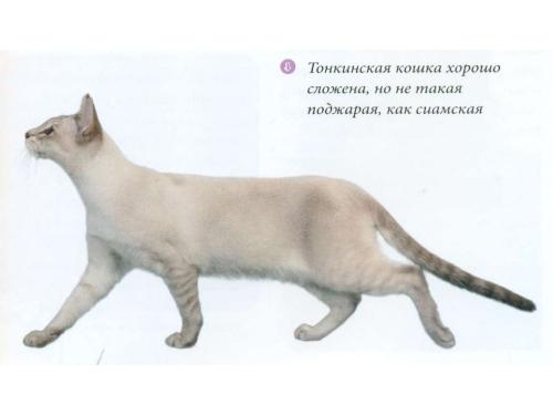 Тонкинская порода кошки