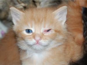 Конъюнктивит у котенка