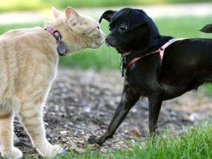 Знакомство кошки с собакой