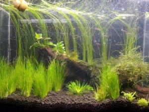 Применение сайдекса для очищения аквариума от бактерий и водорослей