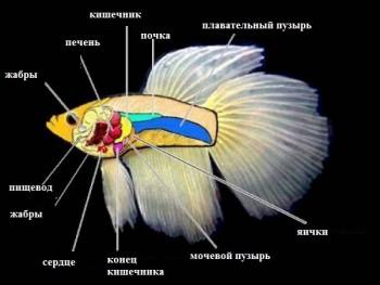 Анатомия петушка
