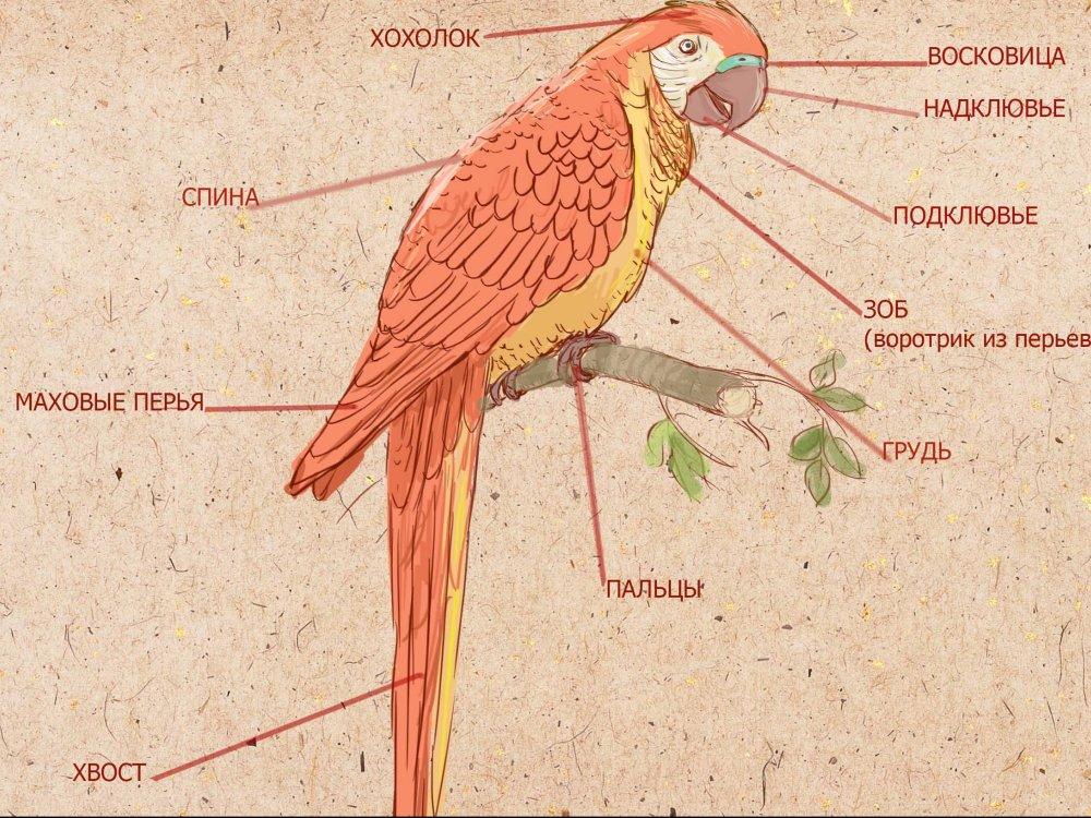 Анатомия попугая