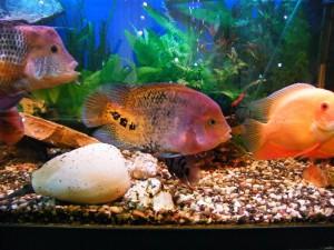 Большой аквариум для цихлазом