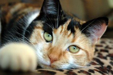 Проблема асцита у кошек