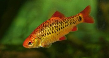 Аквариумная рыбка Барбус Шуберта