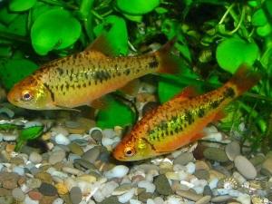 Барбус Шуберта - стайная рыба