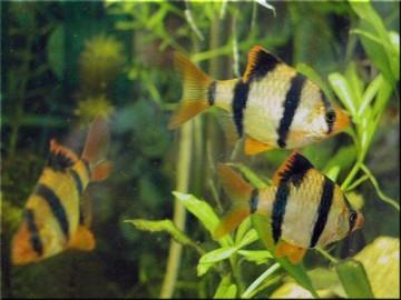 Рыбки барбусы
