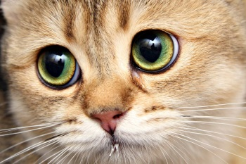 Проблема с глазами у кошек