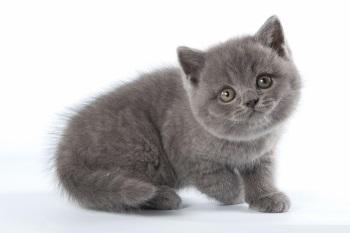 Котенок британца