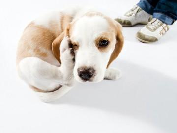 Чесание покровов при власоедах у собак
