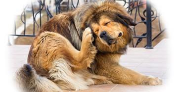 Чесотка у собак