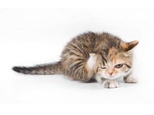 Активная чесотка у животного - признак заболевания