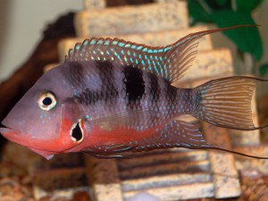 Окрас рыбки Цихлазома Меека