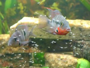 Самец и самка циклозомы меека