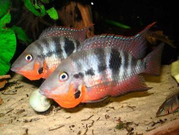 Рыбка Цихлазома Меека