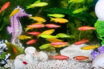Рыбки Данио