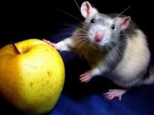 Питание декоративной крысы фруктами