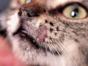 Дерматофитоз у кошек