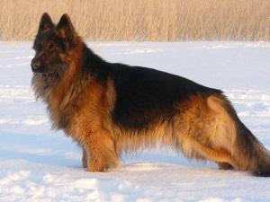 Русская немецкая овчарка с длинной шерстью