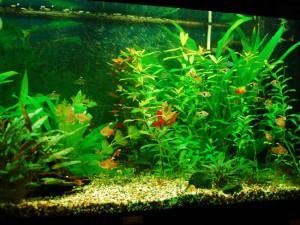 Большой аквариум для гурами