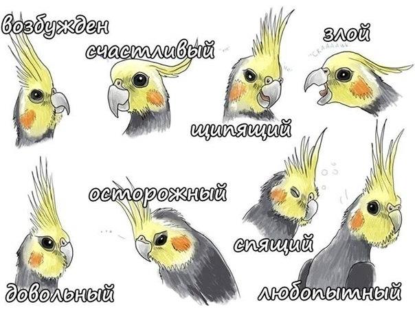 Эмоции попугая Корелла