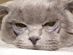 Энтропион у кошки