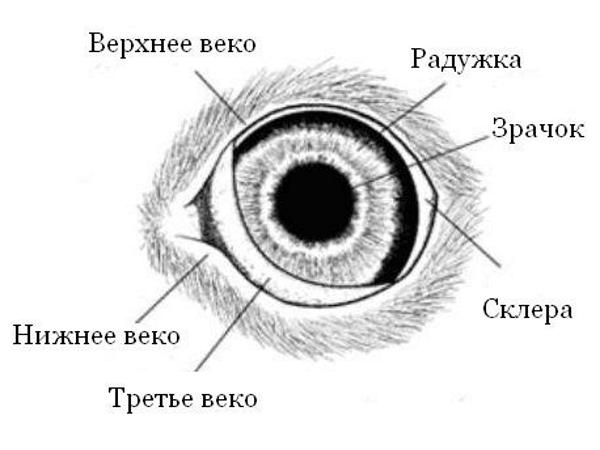 Внешнее строение глаза собаки
