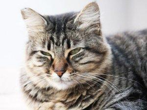 Воспаление век при ринотрахеите у кошек