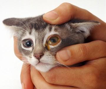 Гной глаз у кошек
