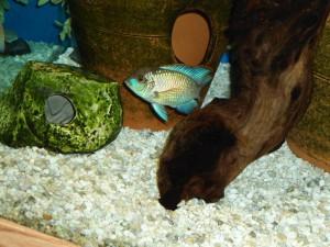 Гроты и пещеры а аквариуме для голубой акары
