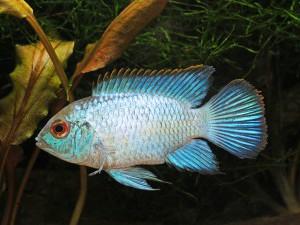 Обилие водоросли для голубой акары