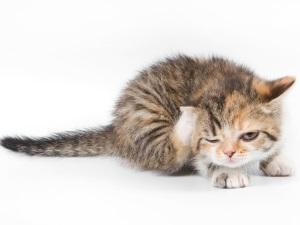 Проблема грибка у кошек