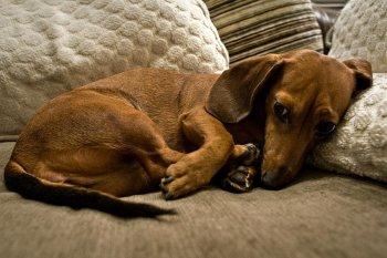 Проблема эклампсии у собак