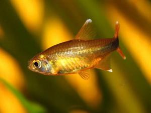 Рыбка тетра медная
